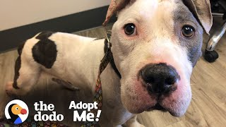 Skinny Abandoned Pittie Gets So Big And Handsome   The Dodo Adopt Me!