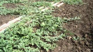 выращивание арбуза под капельным орошением