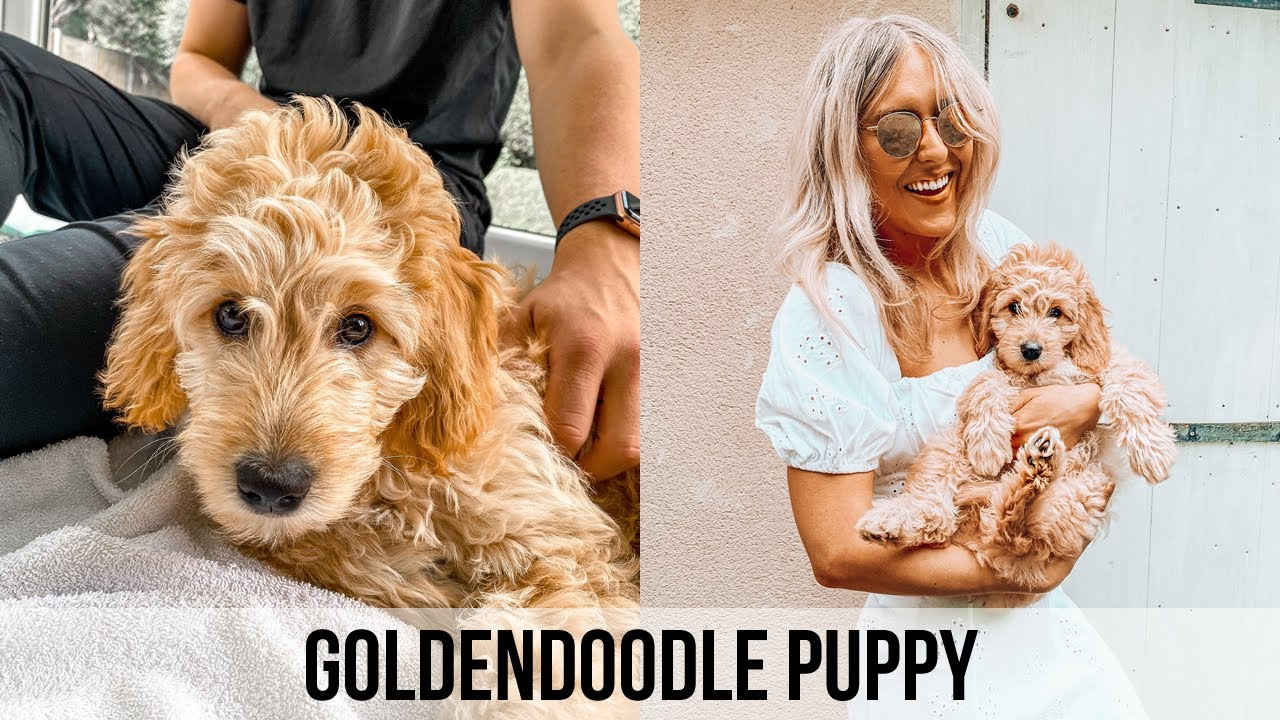 Things To Know About Getting A Puppy + GoldenDoodle Puppy 12 week Update + Tips