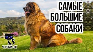 Самые большие собаки в мире / Интересные факты о собаках