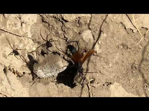 Tarantula Hawk Vs Black Widow