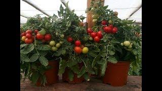 видео Томат балконное чудо: как выращивать и ухаживать