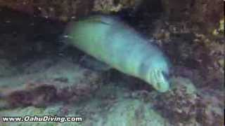 Hawaiian Monk Seal Encounter- Scuba Diving with monk Seal Hawaii