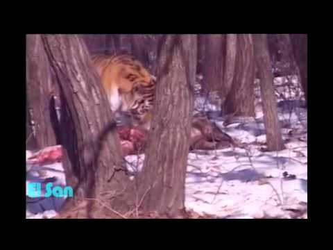 Тигр Амур съел козла Тимура