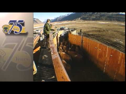 Under the Microscope:  Yellowstone Bison Roundup