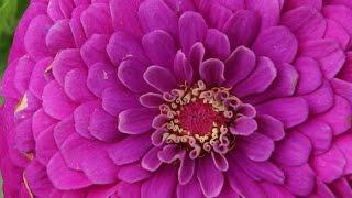 Hobi Bahçecilik - Zambak (Liliaceae) ve Yıldız (Asteraceae) Çiçeği Yetiştiriciliği