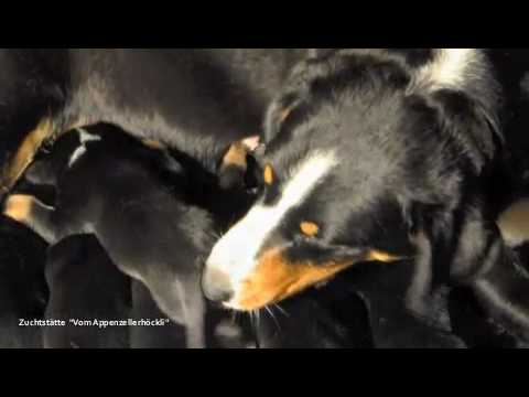 Appenzeller Sennenhunde