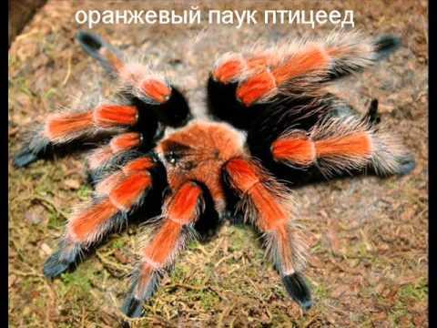 Самые страшные и ядовитые пауки - YouTube