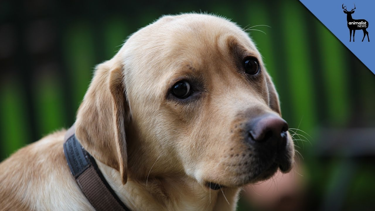 Fake service dogs on the rise youtube fake service dogs on the rise 1betcityfo Images