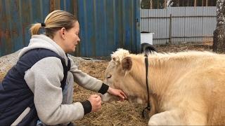 Пропала жвачка у коровы. Что делать?/жизнь в деревне