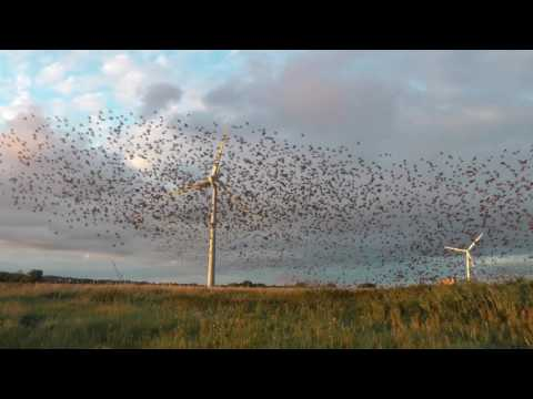The Birds - Enourmous flock of swarming starlings