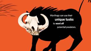 Warthog Skulls | California Academy of Sciences