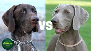 German Shorthaired Pointer vs Weimaraner - Which One Is Right For You?