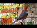 Pancingan Birahi Anis Merah Ngeplong  Mp3 - Mp4 Download