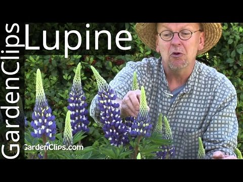 Lupine - Lupinus species - How to grow Lupines