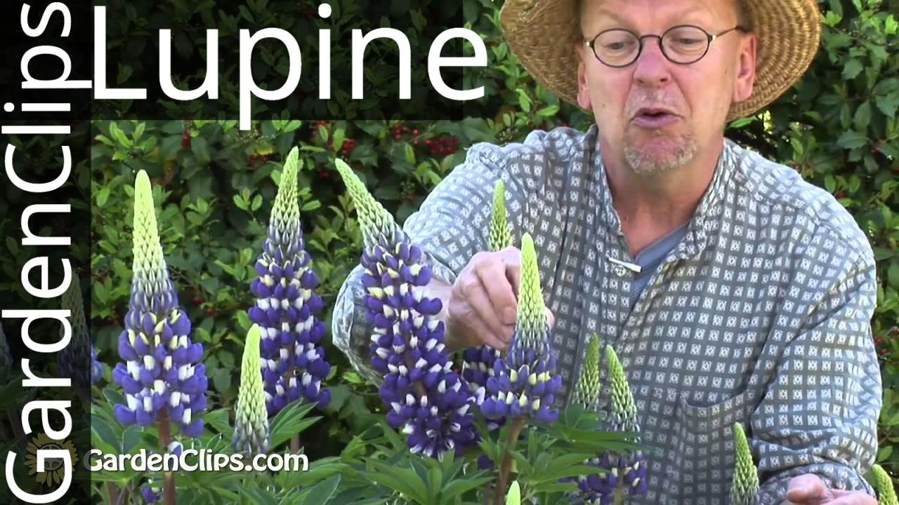 How to plant lupine seeds - How To Plant Lupine Seeds 50