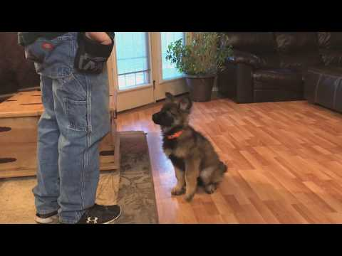 Coated Sable GSD Puppy