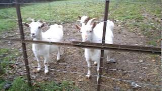 les chèvres qui étaient à coter de mons poste