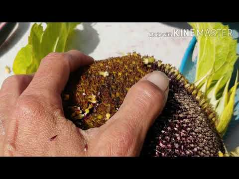 Harvesting Sunflower Seeds Actual Trypophobia Warning Oddly