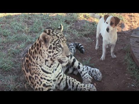 Jaguar Leaps On Puppy But Separating Them Isn'T A Good Idea…