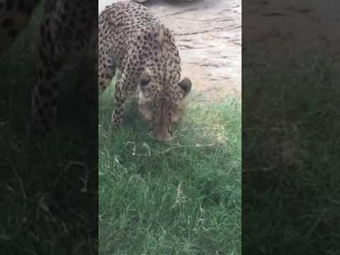 Leopard in Al Ain zoo. Super beautiful.
