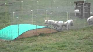 course cochons