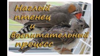 quot;НАГЛЫЙquot; ПТЕНЕЦ требует кормежки. Учись есть САМ. Зебровые амадины. The Zebra finches. Finch bird