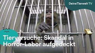 Tierversuche: Skandal in  Horror-Labor aufgedeckt