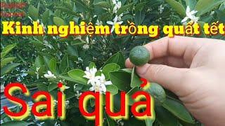 Kinh nghiệm trồng quất tết thời kỳ để quả cây quất lùm, trồng quất cảnh sai quả | AlibabaHchannel