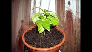 Обзор окна кухни – мои комнатные растения осенью! Цитрус или Кофейное Дерево))
