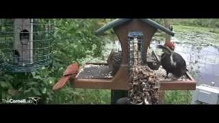 Pileated Woodpecker Reigns Over Feeder, August 10, 2015