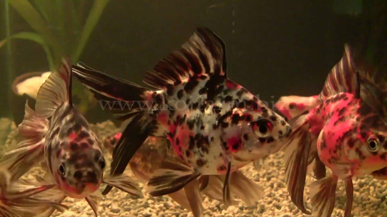 Butterfly goldfisch schleierschwanz schmetterlings for Aquarium goldfische