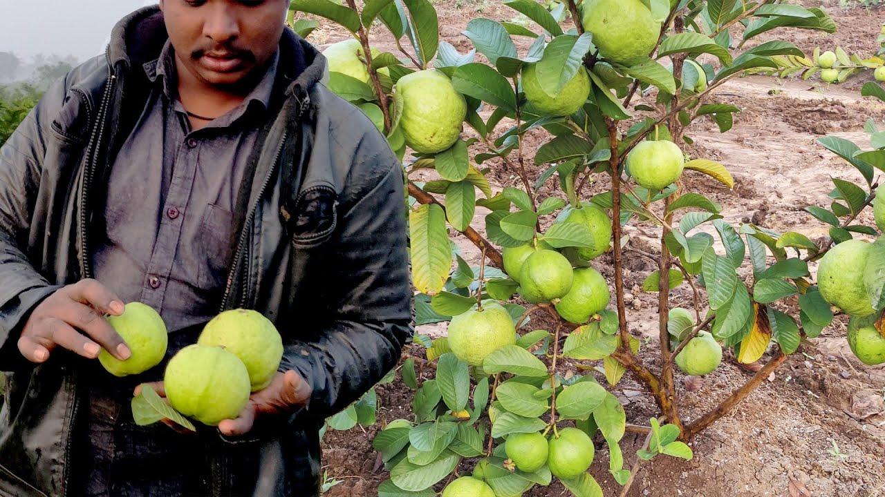 Taiwan Guava Fruit Harvesting | Taiwan Guava Farming | Taiwan Guava Cultivation | Yield of Guava