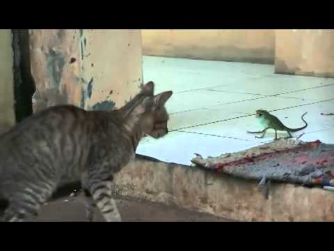 Pet Videos - Funny Cat Scared by Chameleon