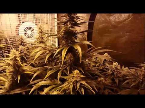 4 Plants 3+ Pounds  4×8 Grow Tent