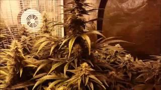 4 Plants 3+ Pounds  4x8 Grow Tent thumbnail
