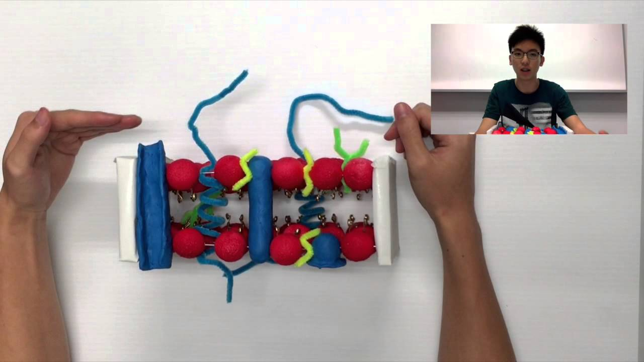 Plasma Membrane 3d Model Lsm1301 (general biology) cell model project ...