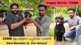 35000 രൂപയുടെ പപ്പിയെ വാങ്ങി|New Member to our kennel|Rottweiler Puppy