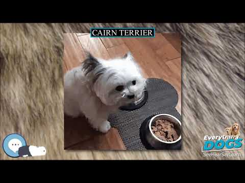 Cairn Terrier  Everything Dog Breeds