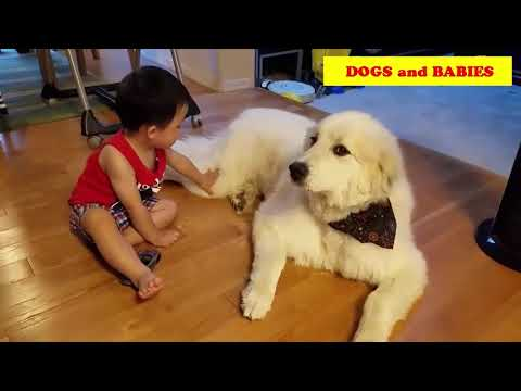Great Pyrenees playing with Baby compilation 2017 - DOGS AND BABIES