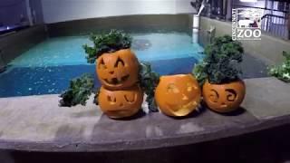 Manatees with Pumpkins - Cincinnati Zoo