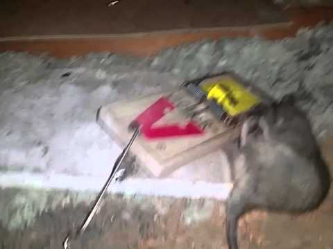12 16 15 Rats In Attic U0026 Ac Ducts Chewed