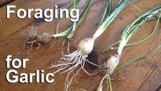 Foraging For Wild Garlic Edible Plants : Gardenfork.tv