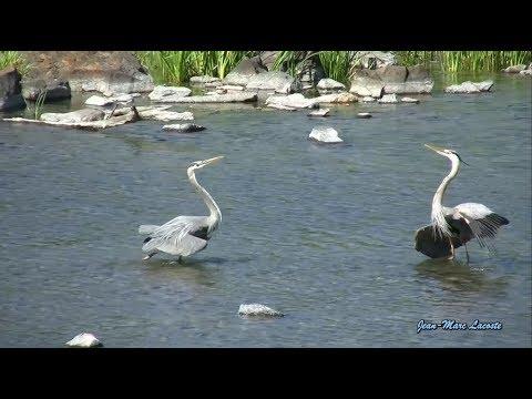 Bataille des Grands Hérons - Reprise parc des Rapides 2010 -