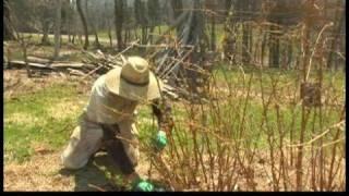 Spring Gardening Tips : Spring Gardening: Pruning Gold Raspberries