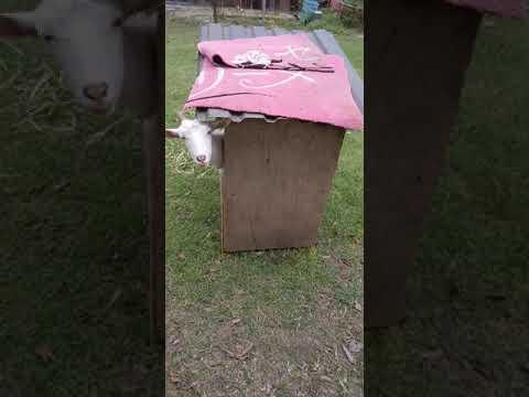 ヤギのひょっこりはん!(笑)           Goat appeared like a japanese comedian.