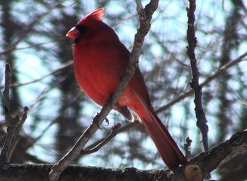 Northern Cardinal - HD Mini-Documentary