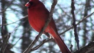 Northern Cardinal - HD Mini-Documentary