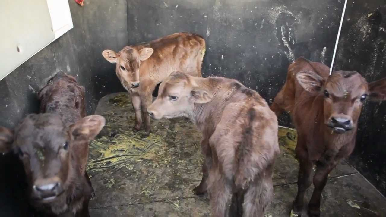 Calf Rescue At E6 Youtube