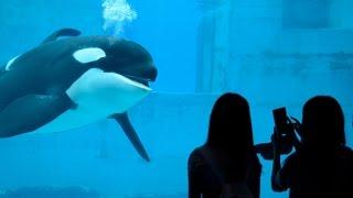 話しかけてくるシャチの親子がかわいすぎる。 名古屋水族館2015 Orca thumbnail